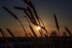 Silhouette of wheat. Silhouettes of wheat at sunset on a summer day at sunset Royalty Free Stock Photos