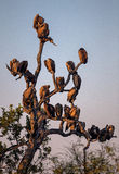 Silhouette of White Backed Vultures Perched in a Tree Royalty Free Stock Photo