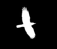 Silhouette of a white crow on a black background.  Stock Image