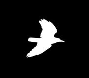 Silhouette of a white crow on a black background.  Stock Images