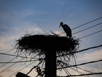 A Stork in its Nest stock photos