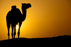 Silhouette of a wild camel at sunset Stock Photo