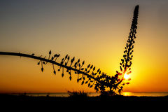 Silhouette of a wild flower. On background of sunset over sea Stock Photo
