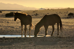 Silhouette of Wild horses of the Namib drinking Stock Image