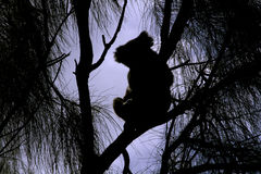 Silhouette of a Wild Koala Royalty Free Stock Images