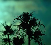 Silhouette of wild thistles at dawn Stock Image