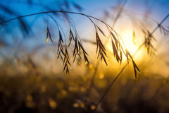 Silhouette of wildflowers during sunset Stock Photography