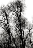Silhouette of Winter. Black and white bare trees branching out and upward silhouetted against an overcast sky in the woods royalty free stock images