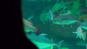 Silhouette of a woman watching incide of a huge aquarium full of exotic fish in an oceanarium.  stock footage
