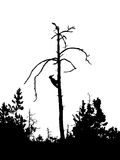 Silhouette woodpecker Royalty Free Stock Photo