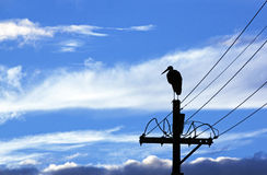 Silhouette of Wooly Neck Stork on Electricity Pole Royalty Free Stock Image