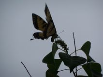 Almost a silhouette of a Yellow Tiger Swallowtail butterfly. In muted colors, a large Yellow Tiger Swallowtail butterfly on Chinese Tallow tree leaves, almost stock images