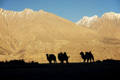 Silhouette young camels in sand dune Nubra valley Ladakh ,India Royalty Free Stock Photos