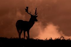 Silhouette of young Fallow deer grazing on grass Royalty Free Stock Photo