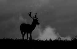 Silhouette of young Fallow deer grazing on grass Royalty Free Stock Image