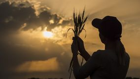 Silhouette of a young farmer looking at the ears of wheat. Back view royalty free stock images