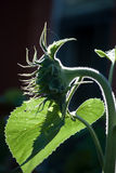 Silhouette  of a young sunflower, late afternoon, leaning on a leaf Stock Photography