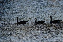 3 Silhouetted гусыни плавая на пруде вечера Стоковое фото RF