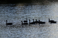Silhouetted гусыни плавая на пруде вечера Стоковые Изображения