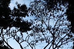 Silhouetted изображение летучих мышей плодоовощ лис летания aka Стоковое Изображение RF