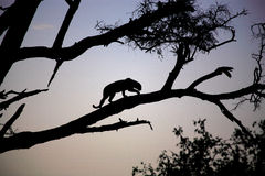 silhouetted леопард Стоковые Изображения RF