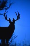 silhouetted осляк оленей больших денег Стоковые Изображения RF