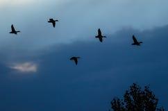 Silhouetted утки летая в небо захода солнца Стоковые Изображения