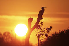 Silhouetted Anhinga Royalty Free Stock Photos