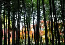 Silhouetted Bamboo Trees. Grove of bamboo trees silhouetted against colorful Japanese maples Royalty Free Stock Images
