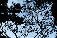 Silhouetted bild av slagträn för frukt för flygrävar aka Royaltyfri Bild