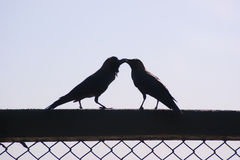 Silhouetted birds kissing. Silhouetted crow bird kissing on fence with sky background and copy space stock photos