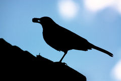 Silhouetted blackbird. Side view of silhouetted blackbird on roof with nut in mouth stock images