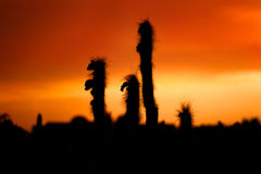 Silhouetted cactus at sunset Stock Photo