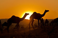 Silhouetted camels at sunrise Stock Photo