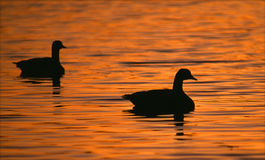Silhouetted Canada Geese. A pair of Canadian Geese swimming on a sun lit lake stock photo