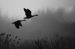 Silhouetted Canada Geese Flying Above Foggy Marsh Stock Image