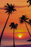 Silhouetted of coconut tree. During sunrise Stock Photo