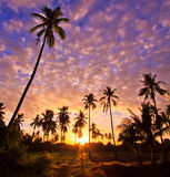 Silhouetted of coconut trees Royalty Free Stock Photo