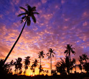 Silhouetted of coconut trees Stock Photo