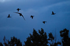Silhouetted Cormorant Flying Among Flock of Ducks in the Evening Sky Stock Photos