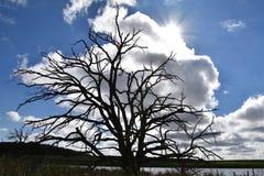 Silhouetted dött träd förödmjuka morgonhimlen Royaltyfri Fotografi