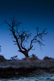 Silhouetted dead tree. A gnarled dead tree silhouetted against an early morning dark sky Stock Image