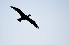Silhouetted Double-Crested Cormorant Flying in the Evening Sky. Silhouetted Double-Crested Cormorant Flying in the Cool Evening Sky Stock Photos