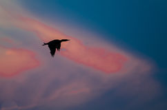 Silhouetted Double-Crested Cormorant Flying in the Glow of a Sunset Royalty Free Stock Photography