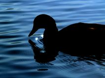 Silhouetted duck on blue water. Side view of silhouetted duck on blue rippled water stock photos