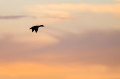 Silhouetted Duck Flying in the Beautiful Sunset Sky. Lone Silhouetted Duck Flying in the Beautiful Sunset Sky Royalty Free Stock Photos