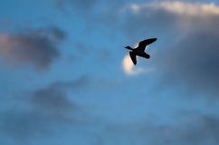 Silhouetted Duck Flying in the Dark Evening Sky. Silhouetted Duck Flying in the Dark Blue Evening Sky Royalty Free Stock Photo
