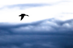 Silhouetted Duck Flying in the Dark Evening Sky. Silhouetted Mallard Duck Flying in the Dark Evening Sky Royalty Free Stock Photos