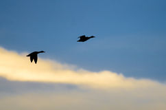 Silhouetted Ducks Flying in the Dark Evening Sky. Two Silhouetted Ducks Flying in the Dark Evening Sky Stock Image