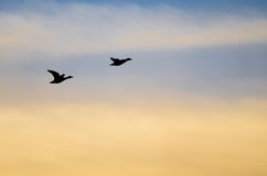 Silhouetted Ducks Flying in the Sunset Sky. Silhouetted Ducks Flying in the Colorful Sunset Sky Royalty Free Stock Photography